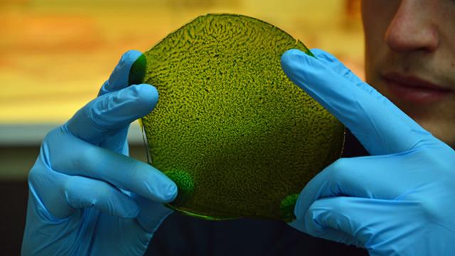 シルクに固定された葉緑体