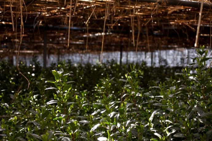 収穫30日前から覆いをすることで、渋みが少なく、旨みが新芽に蓄積し、おいしい碾茶
