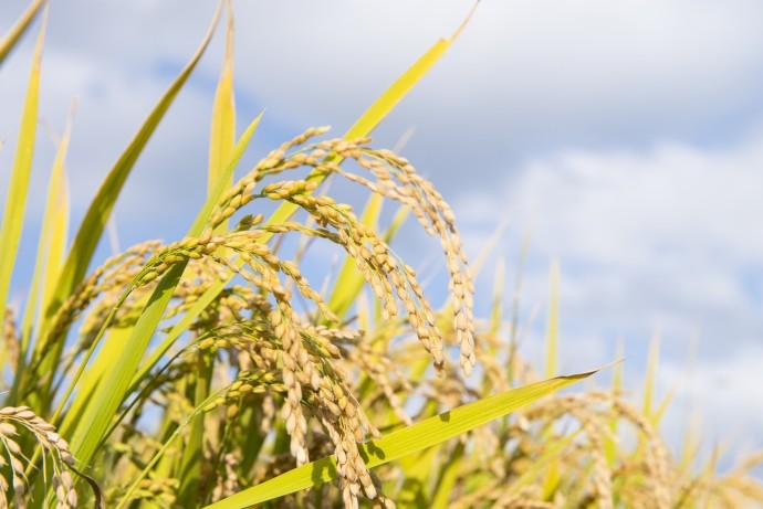 スマホで「水田」を管理できる!? 最新の稲作営農プロジェクト