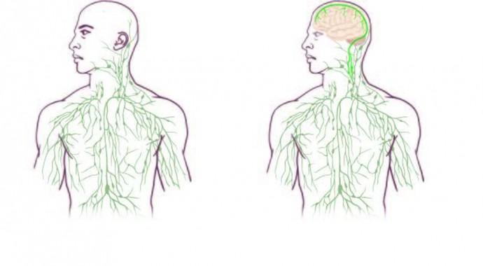世紀の発見?脳と免疫システムを直接繋ぐ導管が見つかる