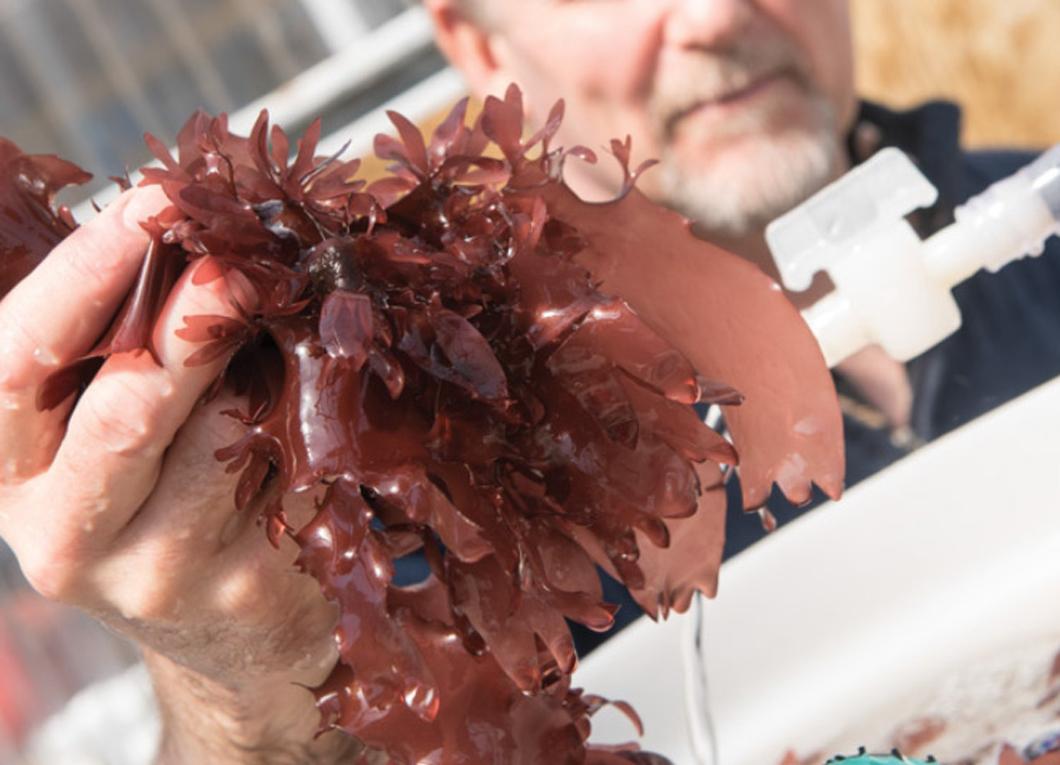 フライにするとベーコンの味?米で特許を取得した新しい海藻