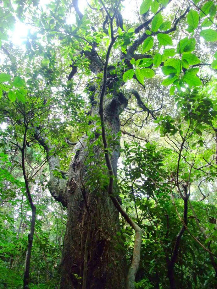 古来からの巨樹が息づく森(写真:筆者)