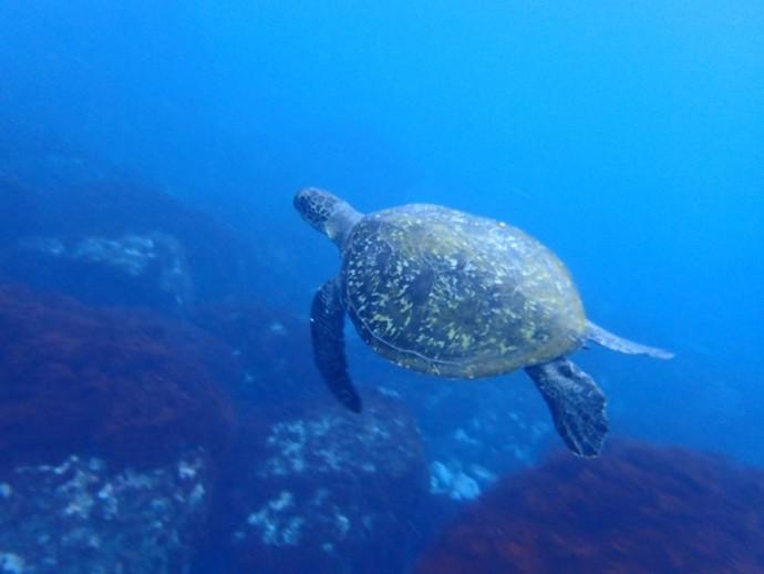 アオウミガメなども多い(写真:NPO法人みらいじま)