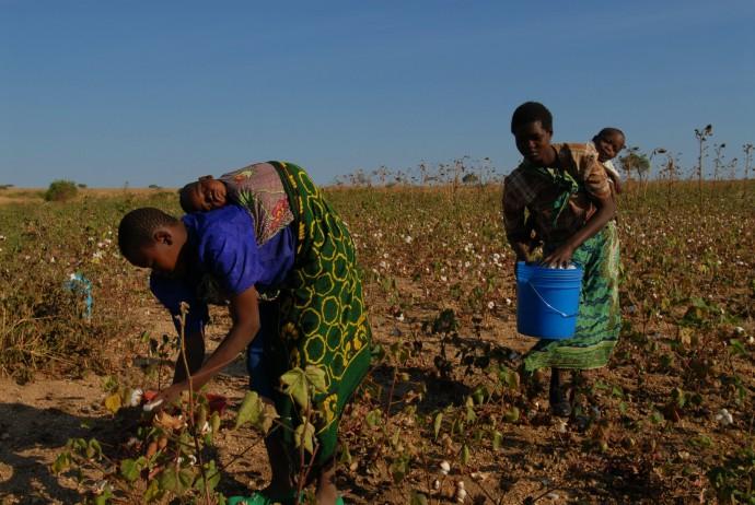 手作業で行う綿花の収穫 (写真提供:REMEI AG/PANOCO TRADING)