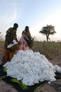 バルキーでふくらみのあるタンザニアの有機綿(写真提供:REMEI AG/PANOCO TRADING)