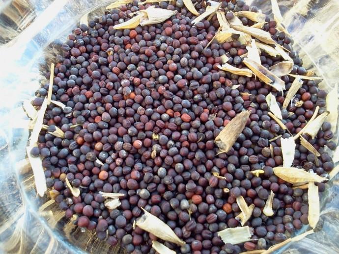 大和伝統野菜の一つ「大和まな」の種。