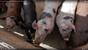 Pig_Manure01