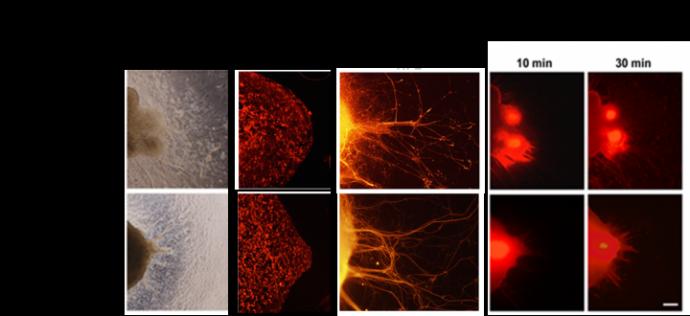 マウスiPS・ES細胞由来の視神経細胞