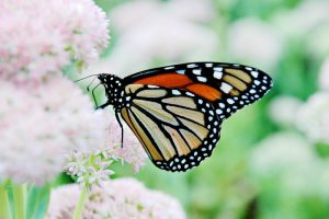 butterfly-monarch-insect-nature-orange-wings-bug