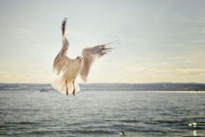 seagull-over-sea