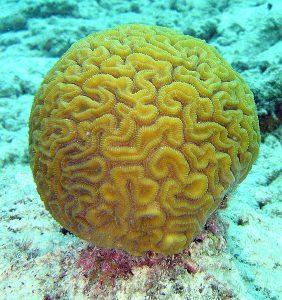 564px-brain_coral